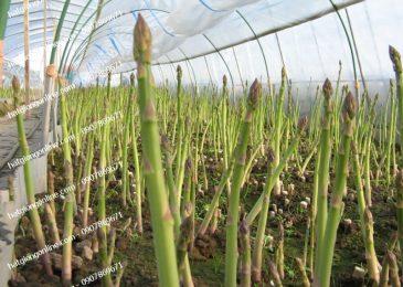 mô hình trồng cây măng tây xanh