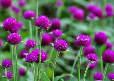 Những lưu ý bổ ích khi trồng hoa cúc bách nhật