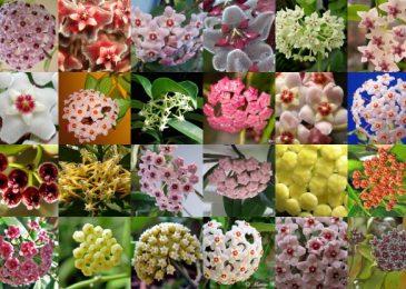 cách trồng và chăm sóc cây lan cẩm cù