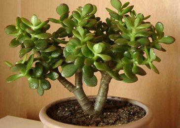 Kỹ thuật trồng cây Ngọc Bích mang tiền tài, may mắn