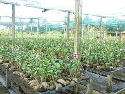 trồng địa lan cắt cành