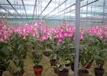 trồng hoa phong lan cắt cành