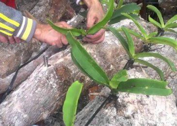 kỹ thuật trồng hoa lan cắt cành