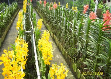 trồng lan cắt cành ở miền bắc