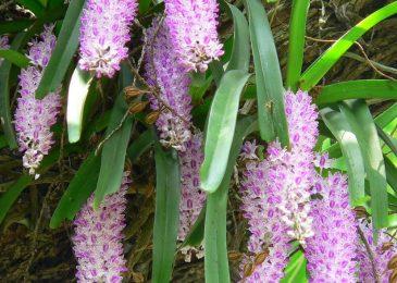 chăm sóc lan đuôi chồn ra hoa