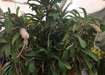 lan đai châu bao lâu ra hoa