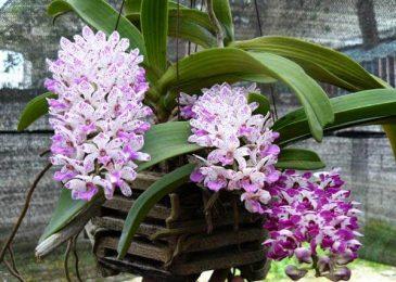 cách chăm sóc hoa phong lan đai châu