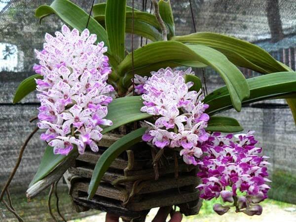 hoa phong lan đai châu rừng