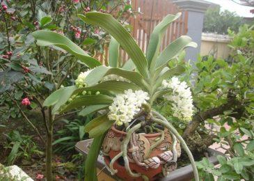kỹ thuật trồng hoa lan đai châu