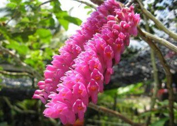 lan báo hỷ ra hoa mùa nào