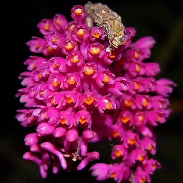 cách chăm sóc hoa phong lan báo hỷ