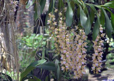 cách chăm sóc lan giáng hương ra hoa