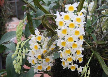 cách chăm sóc hoa phong lan thủy tiên