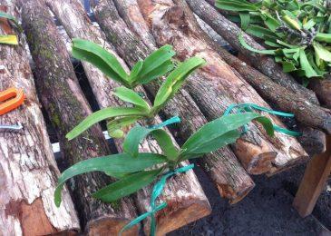 giá thể trồng lan ngọc điểm