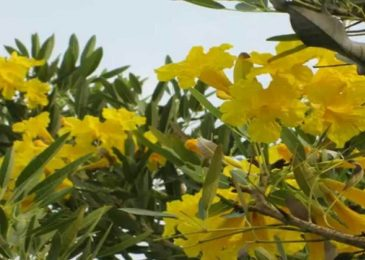 Cách trồng và chăm sóc cây chuông vàng