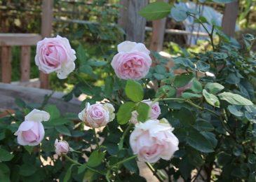 Hoa hồng cổ bạch vân khôi HỒNG CỔ QUÝ HIẾM Việt Nam