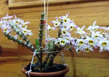 Hoa lan trúc phật bà là giống hoa lan được rất rất nhiều người yêu thích