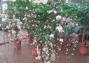 Loài hoa này có vẻ đẹp như hàng vạn hạt minh châu trong đêm