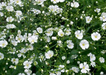 hoa baby nở rất đẹp