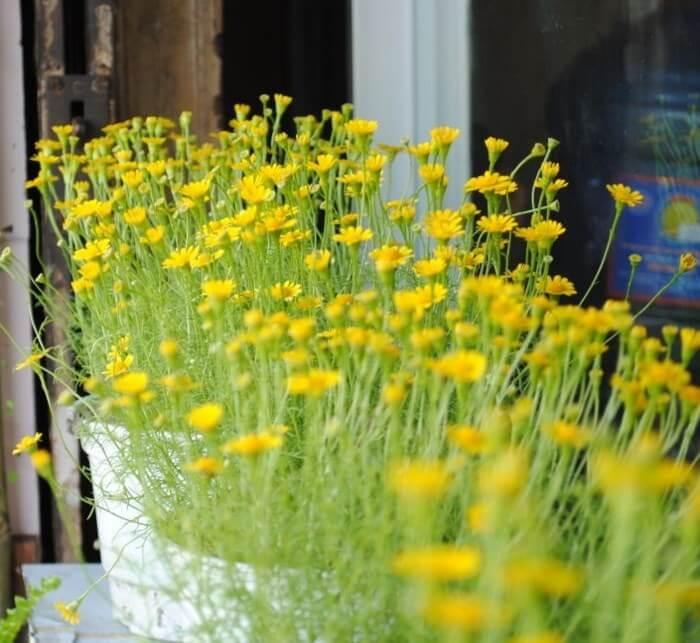 hoa cúc sao băng chăm sóc tốt