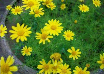 vẻ đẹp cuốn hút của hoa cúc sao băng