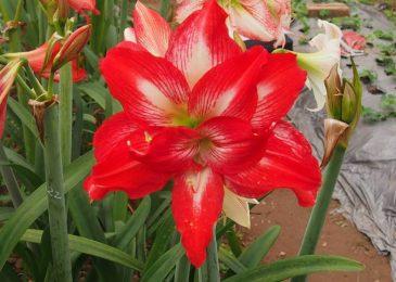 hoa loa lèn đỏ mang đến vẻ đẹp cuốn hút