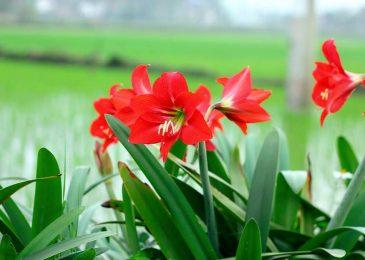 thời vụ hoa loa kèn làm cho hoa nở nhiều hơn