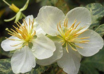 hoa mai trắng rất đẹp