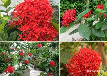 chăm sóc cây hoa mẫu đơn đẹp