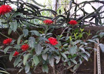 chăm sóc những cây hoa mẫu đơn đỏ nhỏ