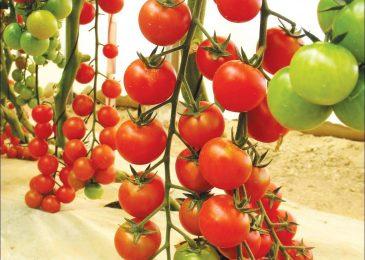 Cách trồng và chăm sóc Cà chua CHERRY anh đào F1