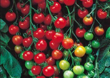 Cà chua bi quả oval cao cây LS 301 F1