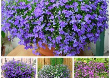 Cách trồng và chăm sóc hoa cúc Lobelia