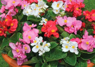 Cách trồng và chăm sóc hoa Thu hải đường F1