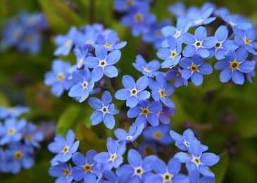 Cách trồng và chăm sóc hoa lưu ly xanh