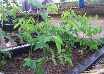 Cách trồng rau ngót bằng hạt với giâm cành