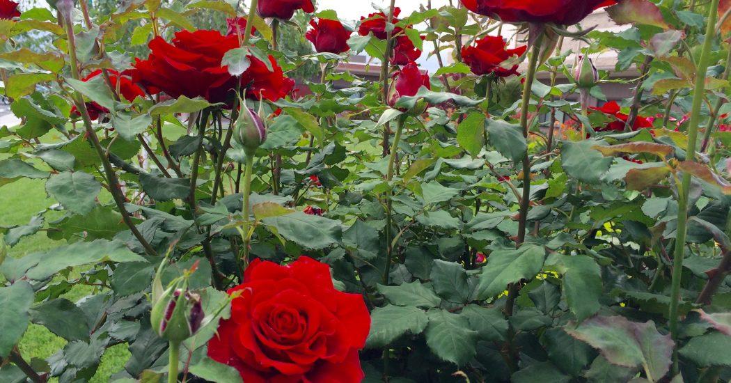 Cách trồng hoa hồng đà lạt dễ nhất