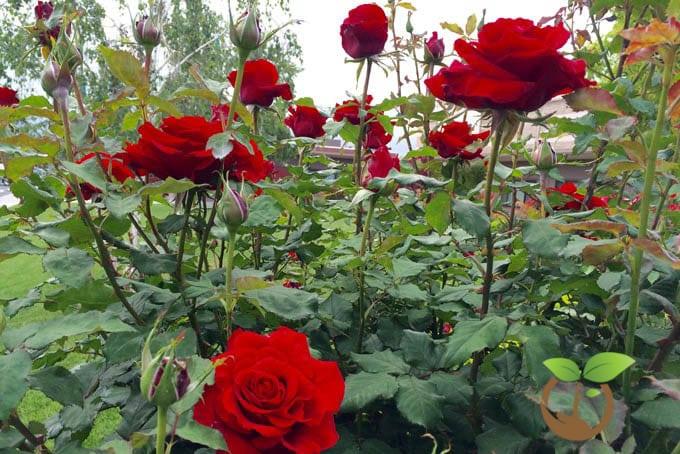 vẻ đẹp lạ của hoa hồng