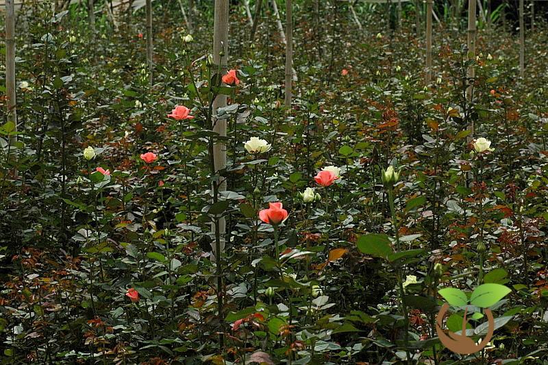 bệnh trên cây hoa hồng