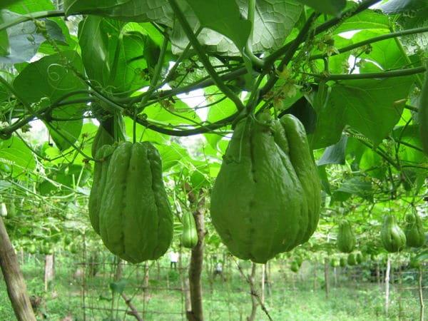 Kỹ thuật trồng cây su su nhiều quả