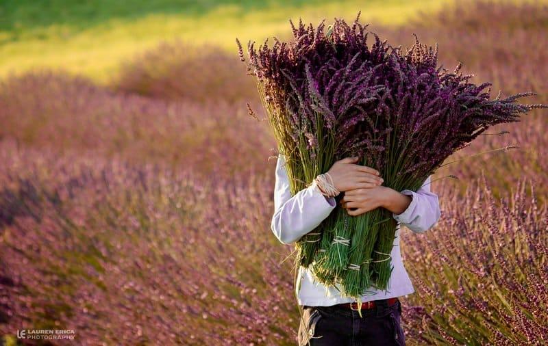 lavender thu hoạch tốt