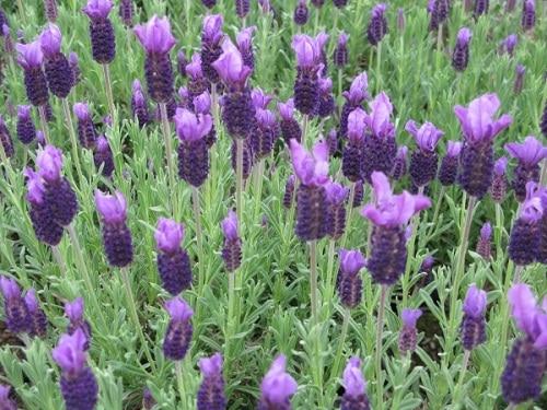 những bông hoa lavender phát triển hoa nhiều