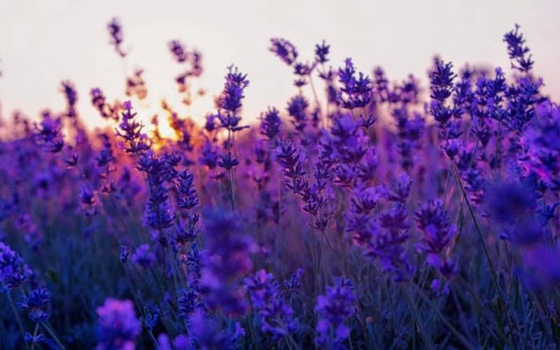 Cánh đồng hoa lavender cầu đất