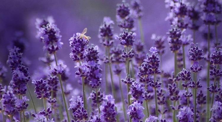 hoa oải hương lavender giúp cơ thể thoải mái