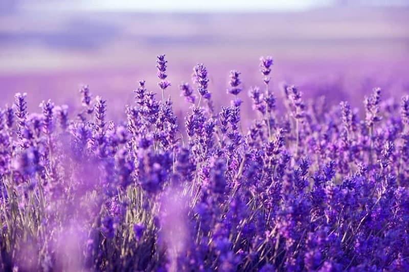 Cánh đồng hoa Lavender ở Hồ Tuyền Lâm