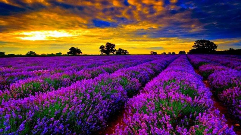 cánh đồng hoa oải hương lavender