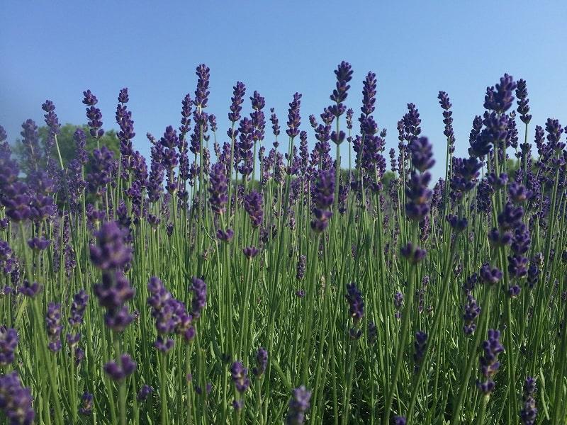 ngắm nhìn những bông hoa oải hương lavender