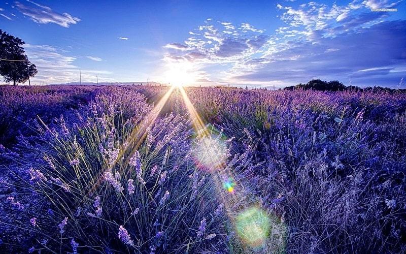 ánh nắng ban mai chiếu xuống cánh đồng hoa oải hương