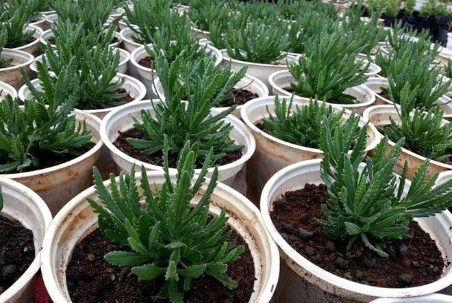 chậu cây hoa oải hương lavender còn nhỏ