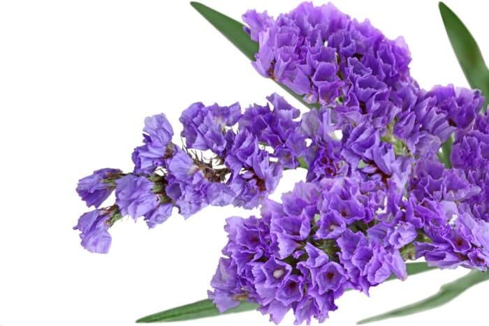 tác dụng của hoa oải hương